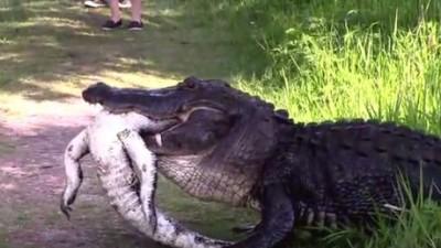 alligator-mange-alligator