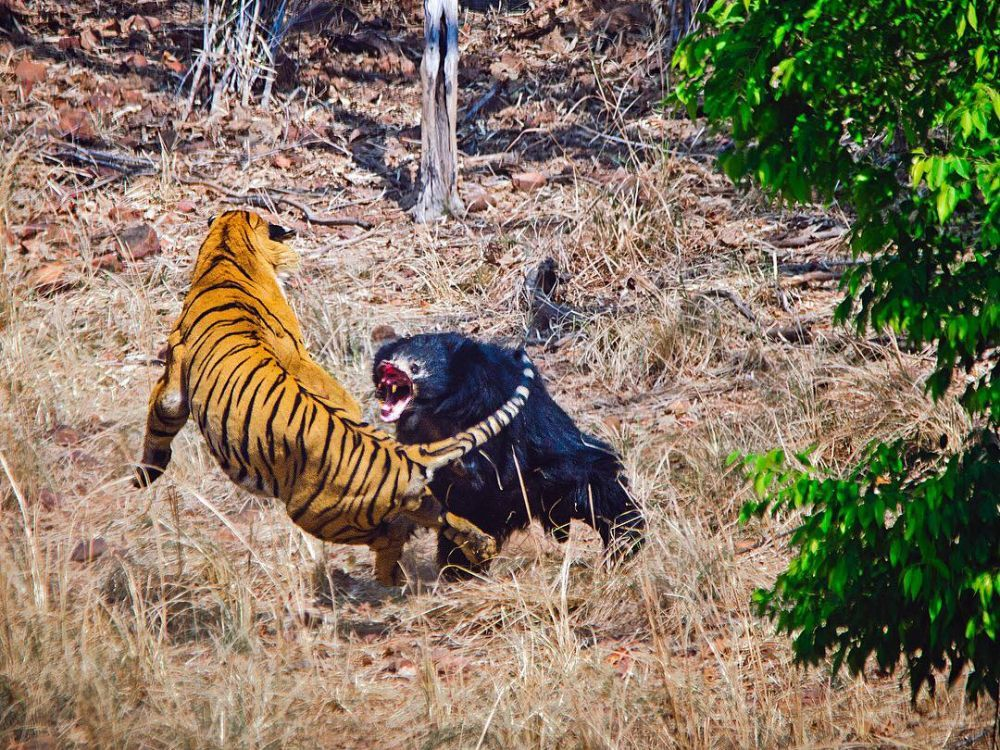 combat ours tigre