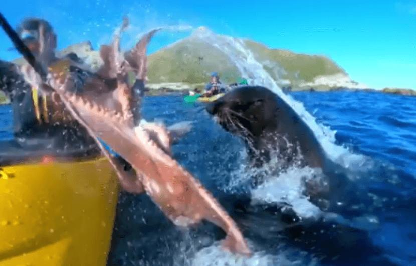 otarie gifle kayakiste avec poulpe
