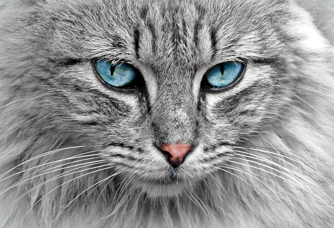 le chat l'animal de compagnie